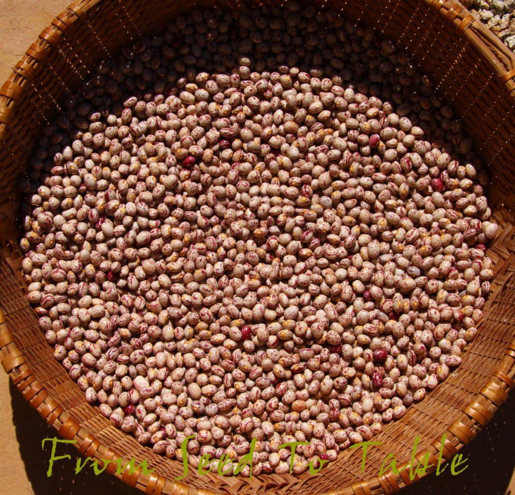 Petaluma Gold Rush Bean
